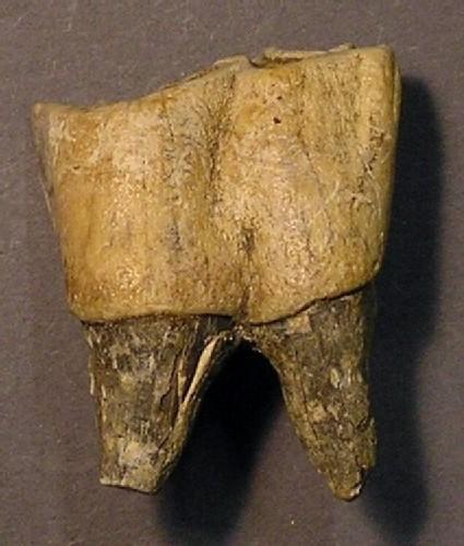 Fossilised rhino tooth
