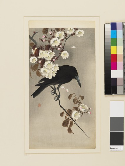 A Jungle Crow on a flowering cherry branch