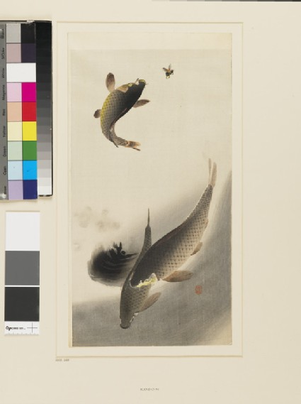 Three carp, one jumping for a fly