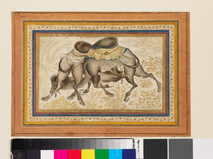 Page from a dispersed muraqqa', or album, depicting two camels fighting