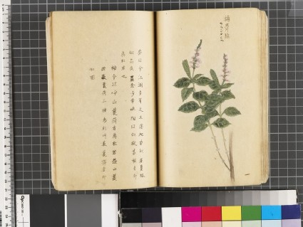 Page from an album of botanical paintings