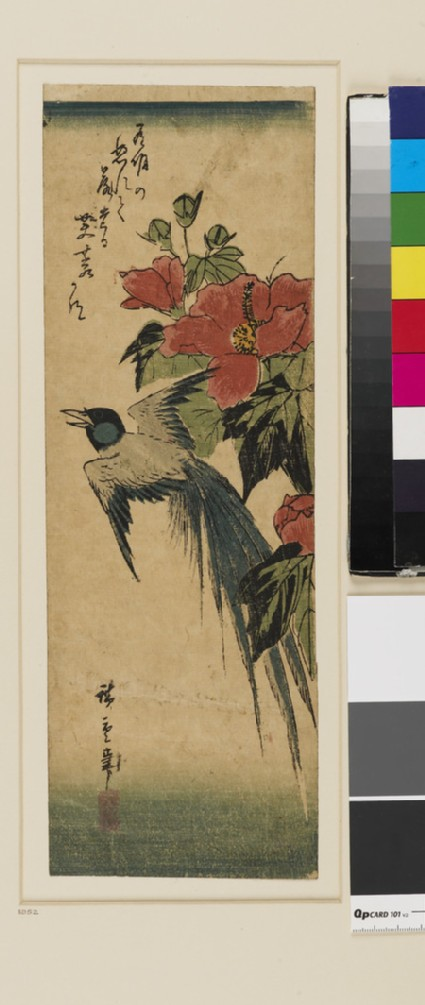 Long-tailed bird and Hibiscus