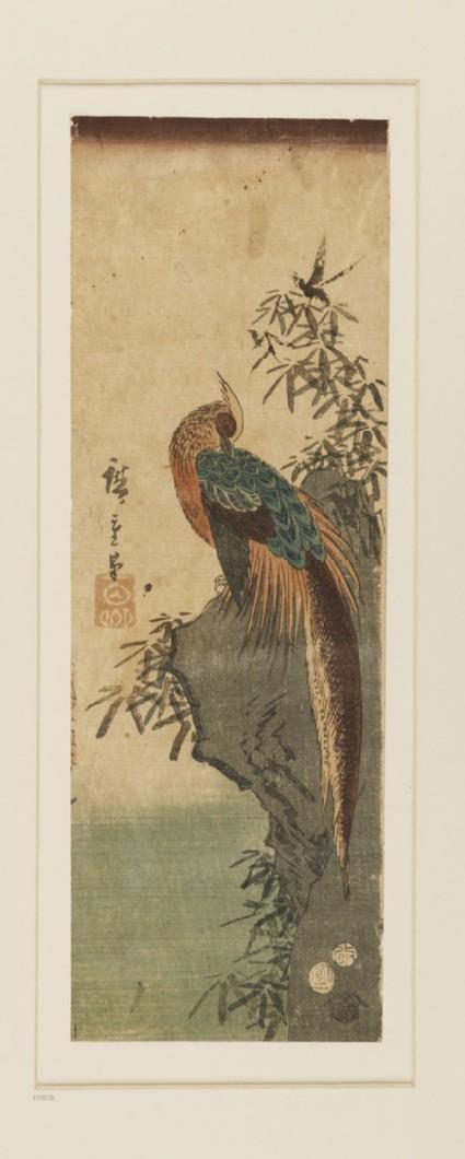 Golden pheasant on a rock