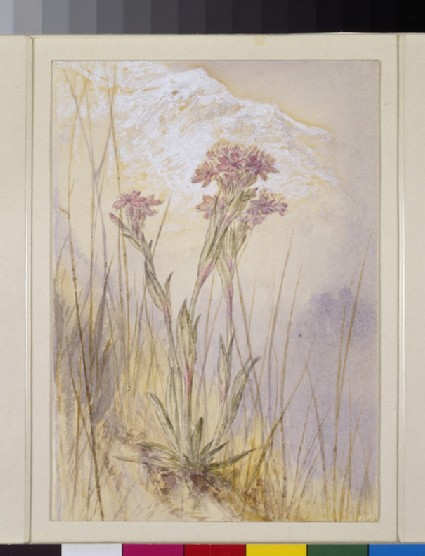 Study of Lychnis at Cagne, Italy