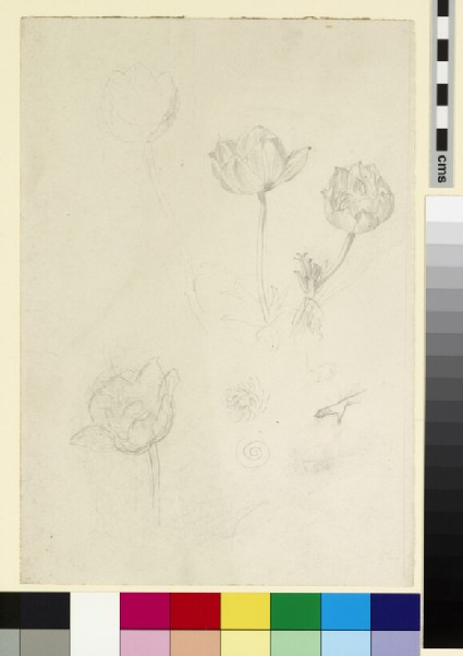 Three studies, possibly of an anemone, and of an outstretched hand