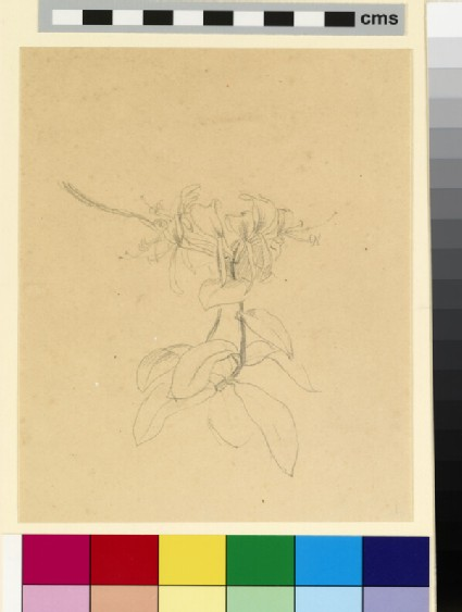 Study of honeysuckle flower and leaves