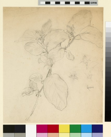 Study of a stem of quince, with three detail bud studies