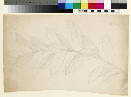 Study of a holly stem, possibly ilex pyramidalis