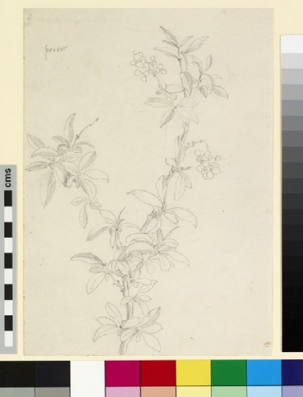 Study of a branch of privet