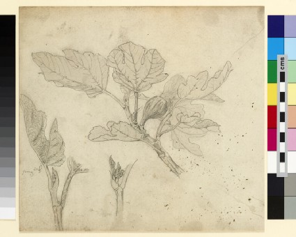 Three studies of a fig branch and young leaves
