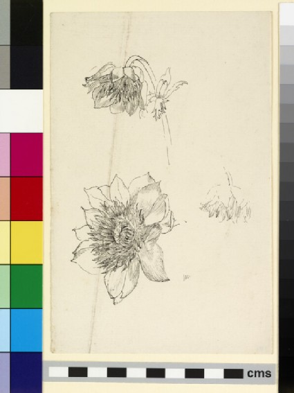 Three studies of an anemone