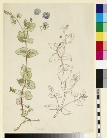 Two studies of eyebright, or speedwell, and three detail studies of the flowers