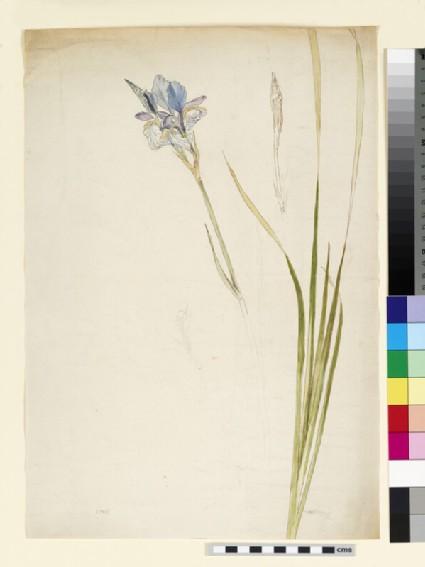 Studies of blue flag iris (iris versicolor)