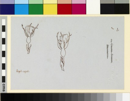 Two studies of a rose in bud