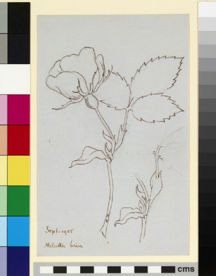 Two studies of a rose stem