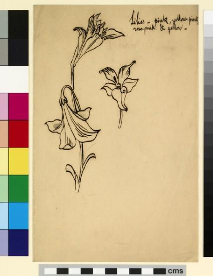 Studies of lilies