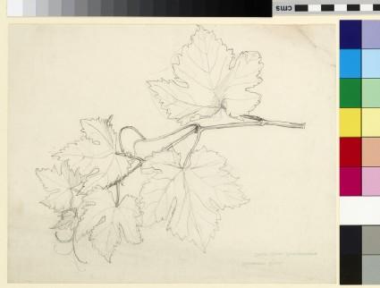 Study of a vine