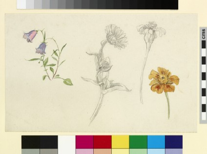 Studies of harebell and marigold