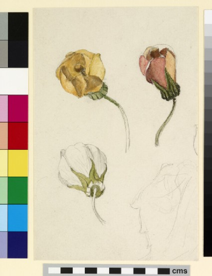 Three studies of rosebuds