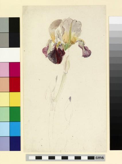 Study of a flag iris