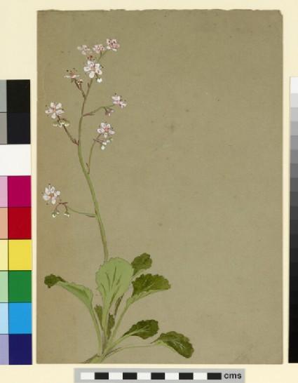 Study of a flower spray, possibly saxifrage