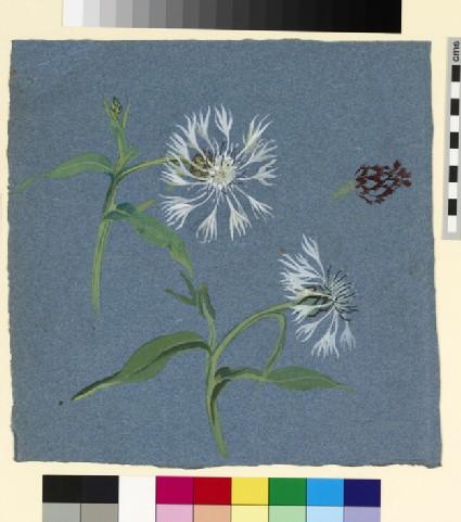 Studies of a white perennial cornflower