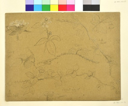 Studies of Bramble Branches in Flower