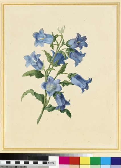 Flower Study: Canterbury Bells
