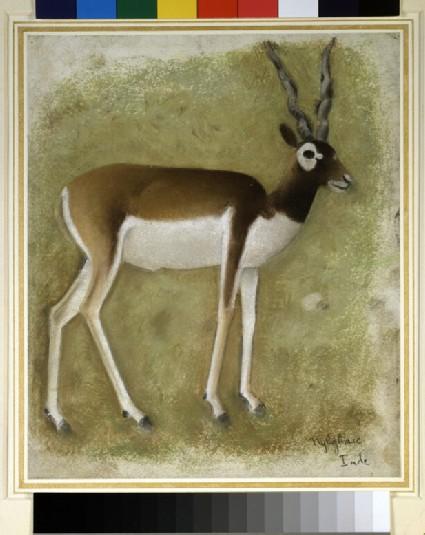 A blackbuck (Antilope cervicapra), in profile to right