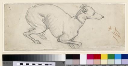 Study of a Greyhound