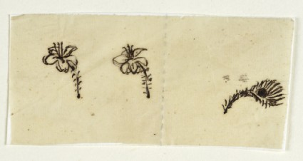 Sketches of Two Lilies and a Peacock Feather