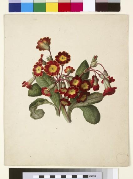 Study of Polyanthus