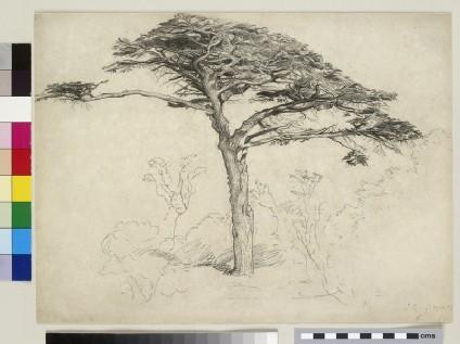 Old Cedar in the Botanic Garden, Chelsea