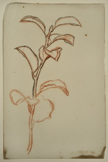 Study of a Plant in Leaf
