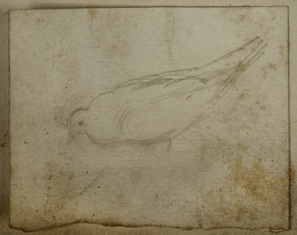 Study of a Pigeon