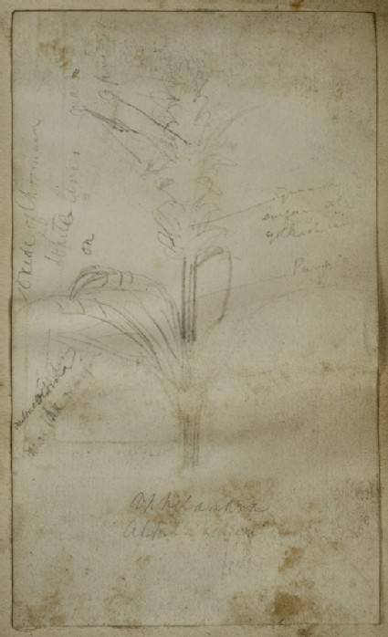 Study of a Maize Plant