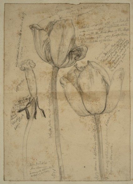 Study of Tulips for 'May Morning on Magdalen Tower'