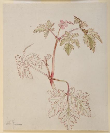 Wild geranium (Herb Robert)