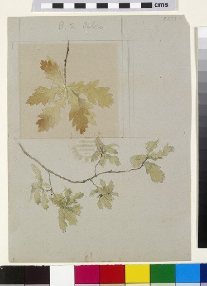 Outline of Leaves of Oak, touched with Colour