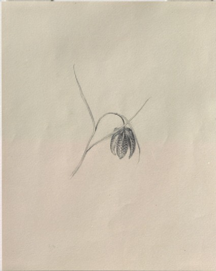 Study, with the Pencil-point, of a Snake's-Head Fritillary