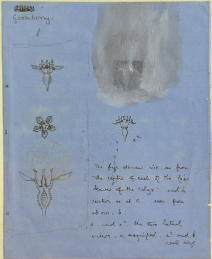 Four Studies of Gooseberry-blossom