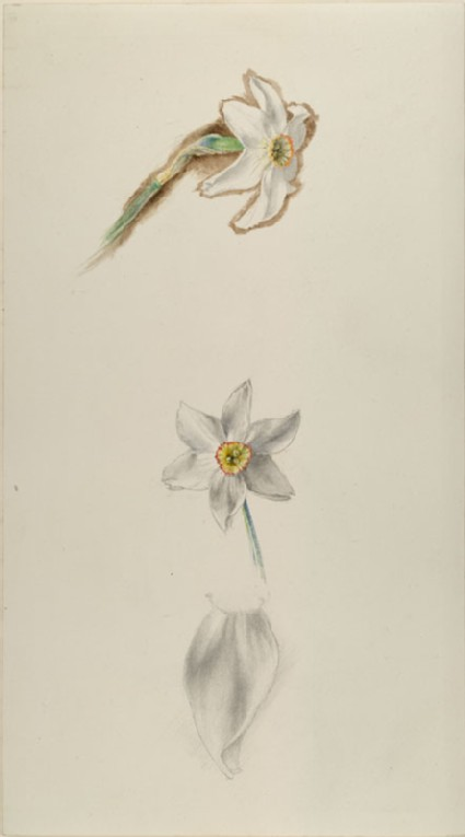 Three Studies of Narcissus ('Field Narcissus of the Alps')