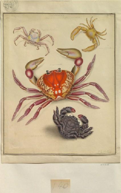 Crustacea: Genus Cancer, Genus Dorippe, Genus Dormio