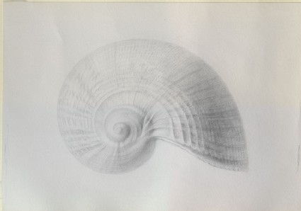 Recto: Enlarged Study of a Shell, formerly wrongly identified as Haliotis Shell <br />Verso: A rough Outline of a Haliotis Shell