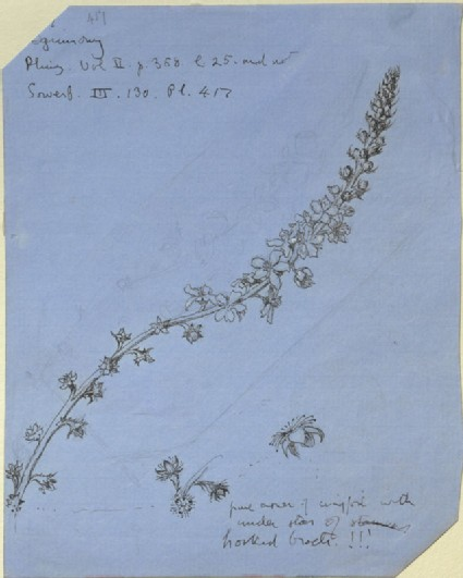 Study of a Stem of Agrimony