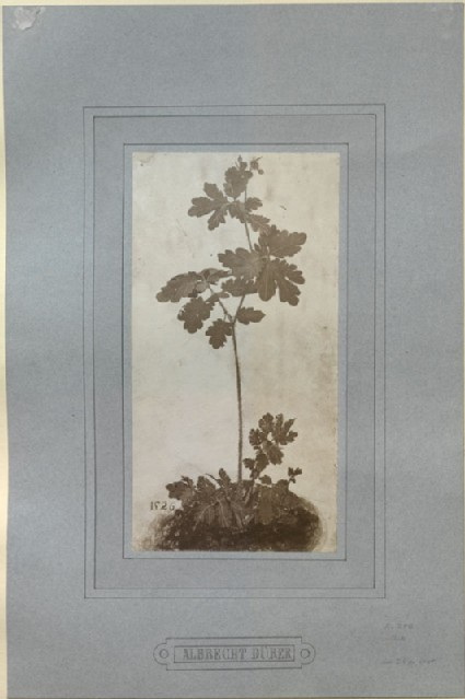 Photograph of Dürer's 'Greater Celandine'