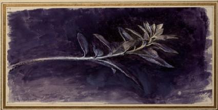 Growing Shoot of Mock Privet (Phillyrea), seen in Profile