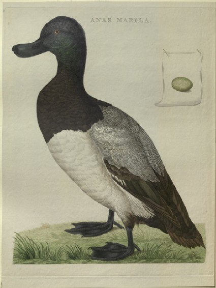 A Greater Scaup