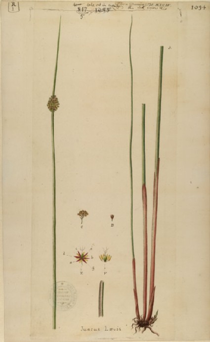 The Rush and its Star Blossom (plate from Floræ Danicæ)