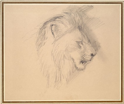 Sketch of the head of a living lion